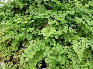 Maidenhair Fern (Adiantum capillus-veneris)