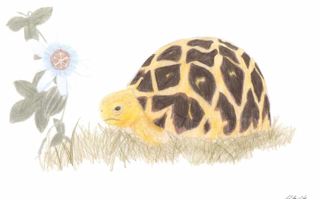 Tortoises for a friend