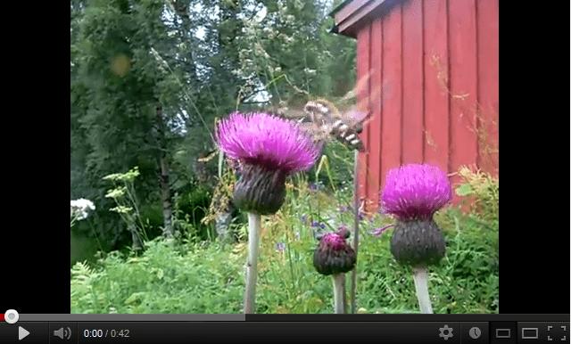 Bedstraw Hawk Moth (Hyles gallii)