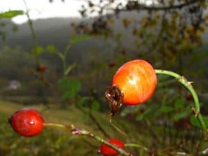Rose Hip Close-up