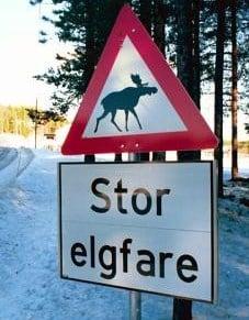 Stor elgfare