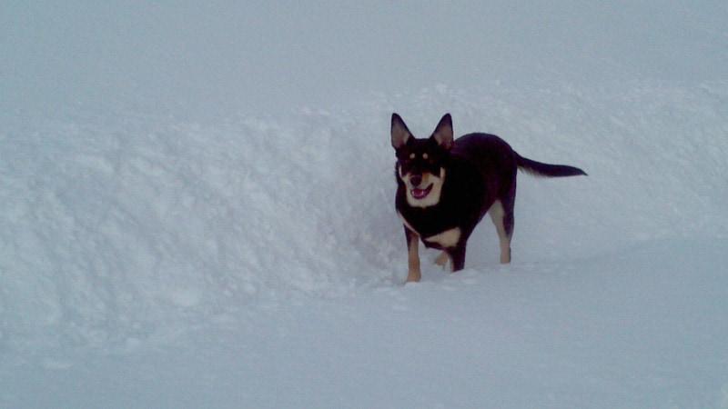 Bonzo enjoying the snow
