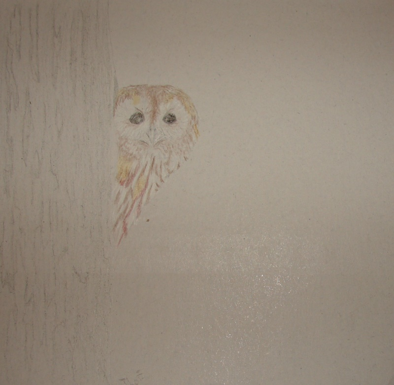 Drawing of a Tawny Owl