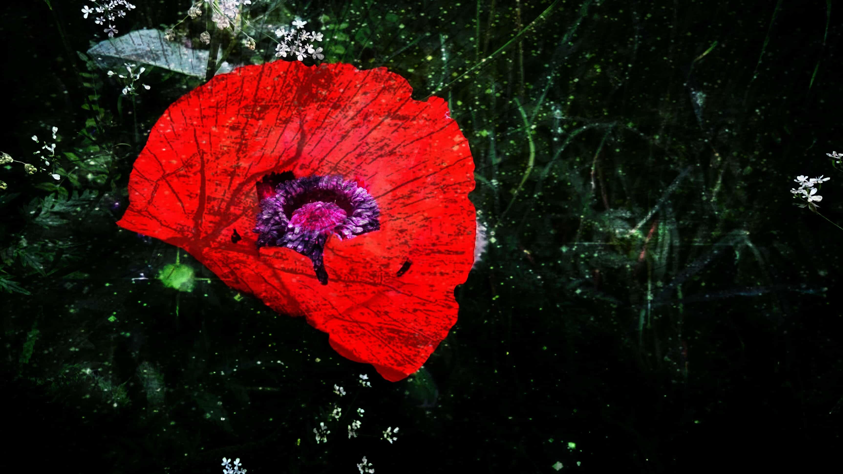 Shattered Poppy