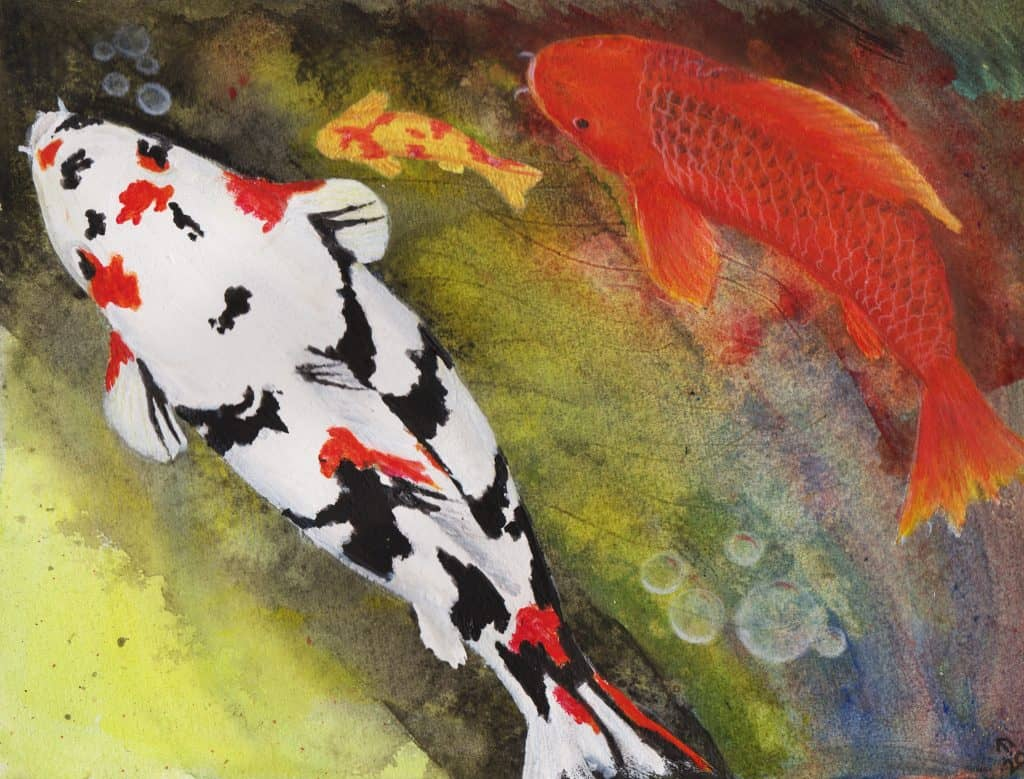Playful koi fish swimming in a pond by linda ursin for Koi swimming