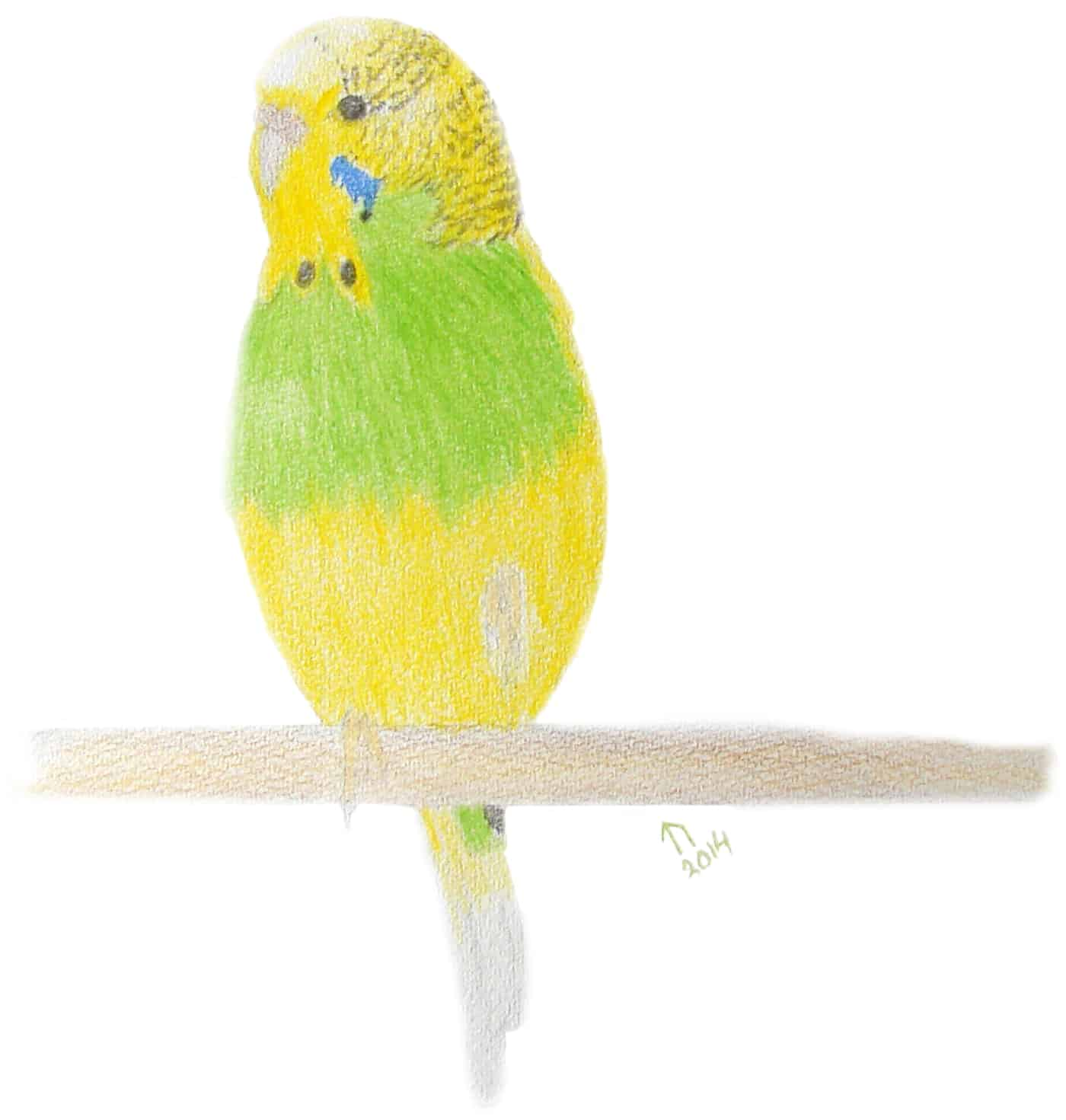 Tia, another budgie