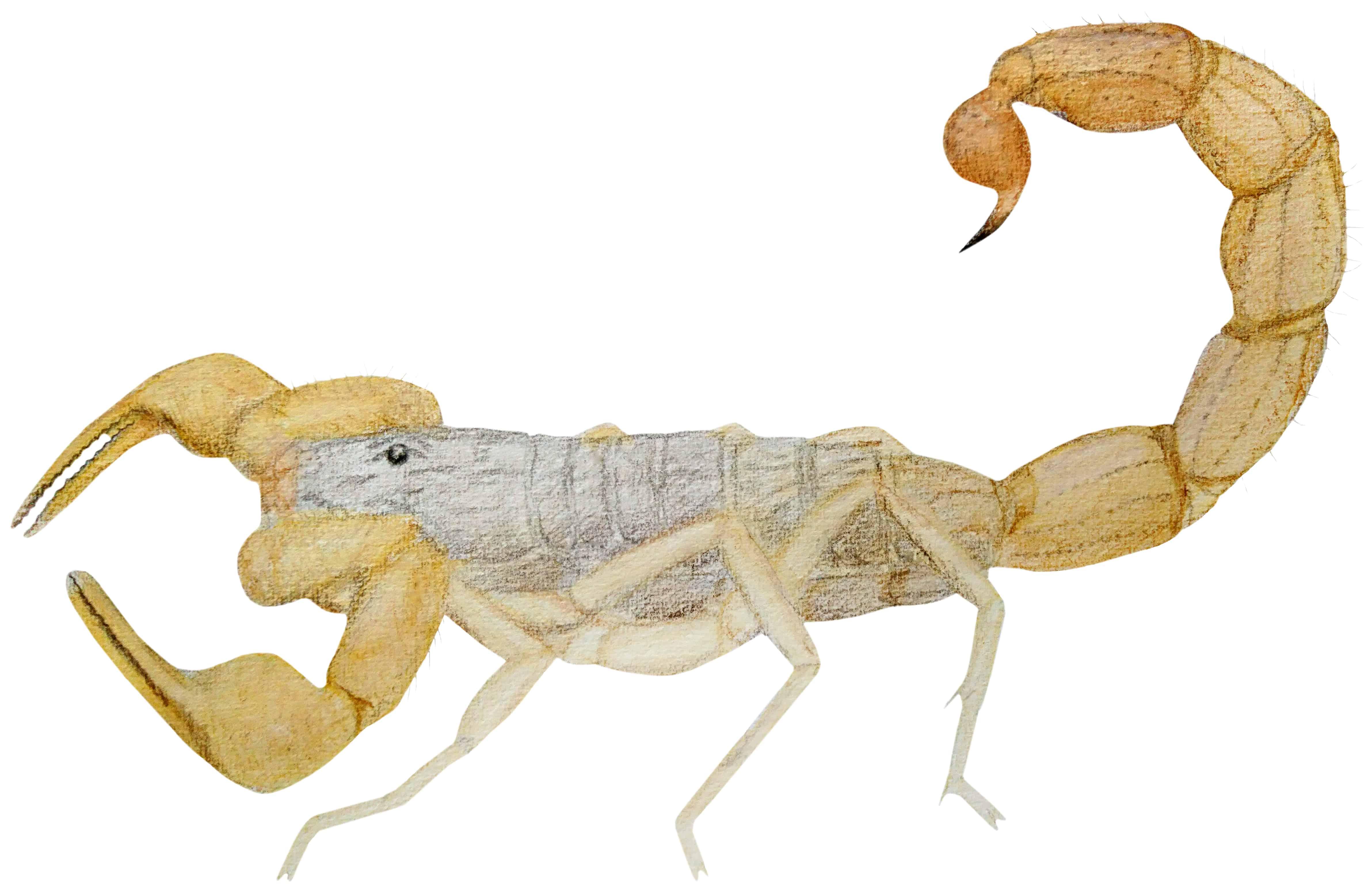 Scorpio - The Western Zodiac