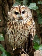 Waldkauz / Tawny Owl / Brown Owl (Strix aluco)