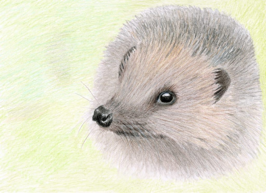 The Hedgehog is a Lovely Creature