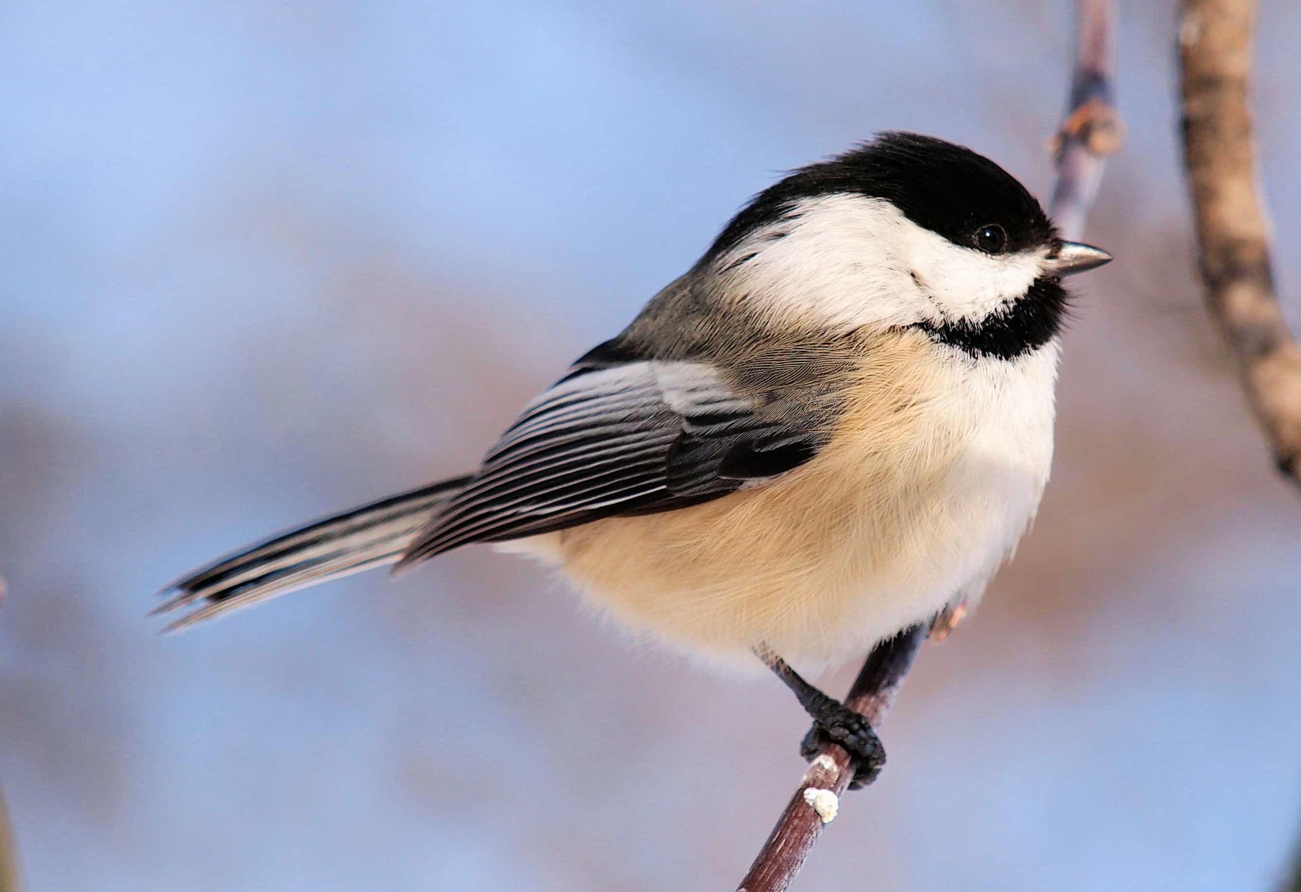Chickadee myths, folklore and spirit animal info