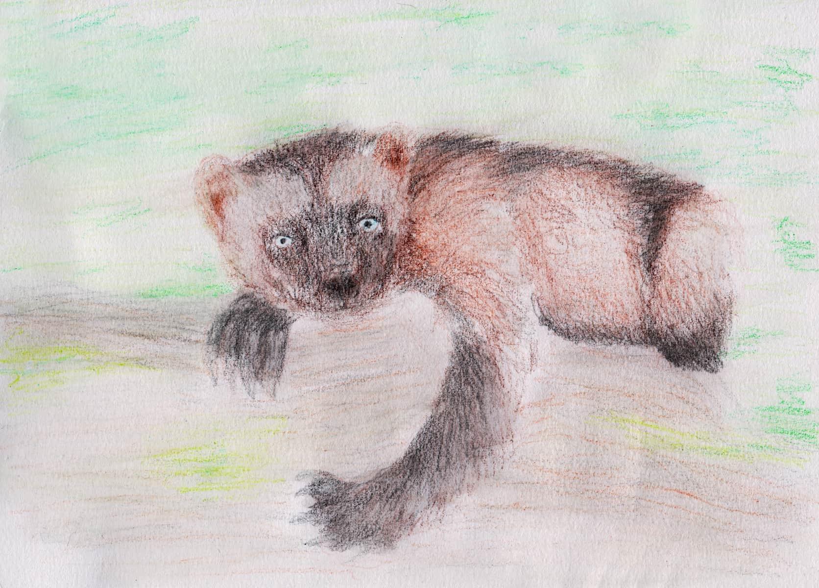 Wolverine Myths, Folklore and Spirit Animal Info