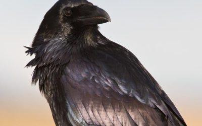 Raven Myths, Folklore and Spirit Animal Info