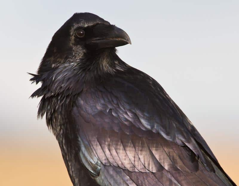Raven Myths, Folklore and Spirit Animal Info